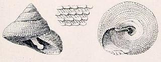 <i>Clanculus leucomphalus</i> species of mollusc