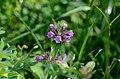 Clinopodium vulgare flowering.jpg