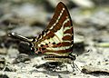 Close wing position of Graphium aristeus Stoll, 1782 – Chain Swordtail WLB.jpg