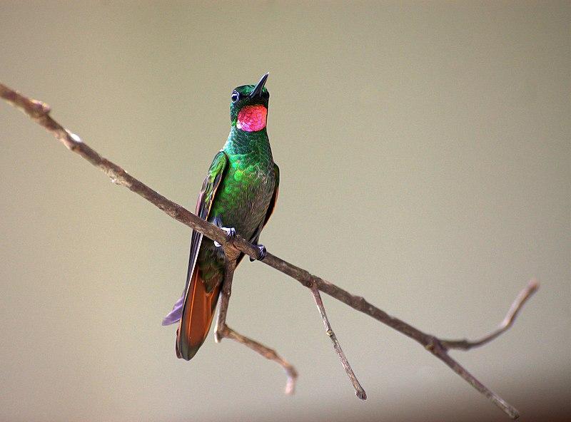 Ficheiro:Clytolaema rubricauda -Ubatuba, Sao Paulo, Brazil -male-8a.jpg