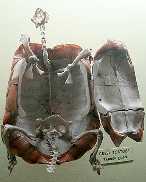 Carapace - A Greek tortoise shell opened to show the skeleton from below
