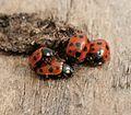 Coccinella (Spilota) undecimpunctata (11-spot ladybird) group.jpg