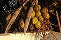 Cocos nucifera from Villupuram dt IMG 3890.JPG