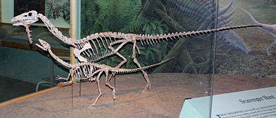 Coelophysis skeletons.jpg