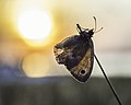 Coenonympha Pamphilus in Backlight (14977430532).jpg