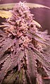 Cogollo marihuana Cannabis indica.jpg