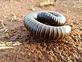 Coiled-Up Millipede.jpg