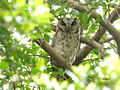 Collared Scops Owl 5515.jpg