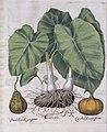 Colocasia esculenta and Curcurbita pepo (15187776498).jpg