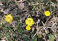Coltsfoot - geograph.org.uk - 1235849.jpg