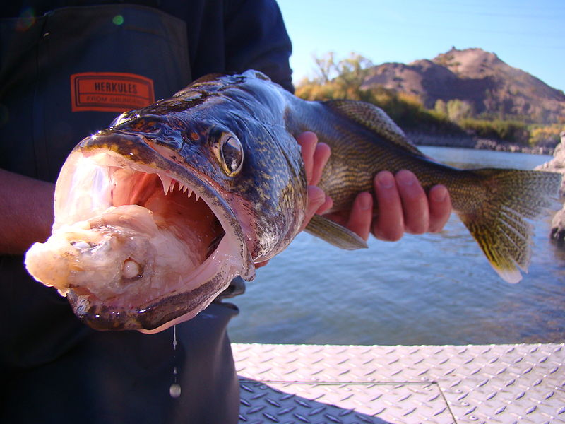 Walleye with a fish in its mouth being held by an angler on the water.