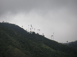 Quindío Department - Quindío wax palm tree is the national tree of Colombia