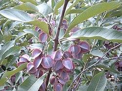 Combretum collinum Bild0860.jpg