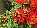 Combretum constrictum - Powderpuff Combretum 2014 (15).jpg