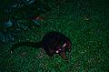 Common Brush-tailed Possum (Trichosurus vulpecula) (9898590563).jpg