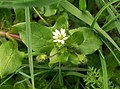 Common Chickweed (Stellaria media) (4472469983).jpg