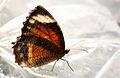 Common Palmfly (Elymnias hypermnestra).JPG