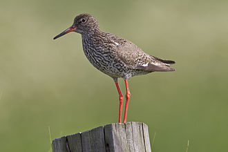 Common redshank - Breeding plumage