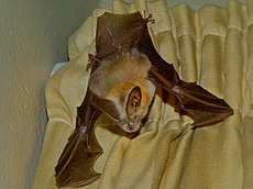 Common Slit-faced Bat (Nycteris thebaica) (7027172215).jpg