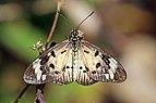 Common acraea (Acraea encedon encedon).jpg
