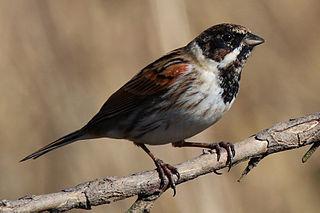 Common reed bunting species of bird