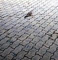 Con cu cườm trên đường phố lát đá (1).jpg