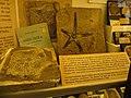 Coniodiscus ferrazzii - Astropecten montalionis.jpg