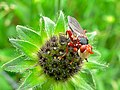 Conopid Fly (Myopa dorsalis) (8359597593).jpg