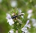 Conops quadrifasciatus female (36779183255).jpg