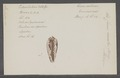 Conus auratus - - Print - Iconographia Zoologica - Special Collections University of Amsterdam - UBAINV0274 085 10 0093.tif