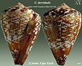 Conus derrubado1.jpg