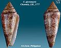 Conus gloriamaris 1.jpg