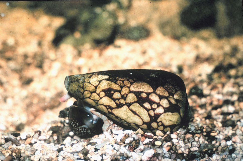 Conus marmoreus feeding on cowrie