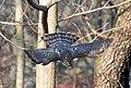 Cooper's hawk swooping in Prospect Park (22269).jpg