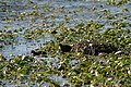 Coots' nest with young - geograph.org.uk - 856972.jpg
