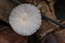 Coprinus plicatus (4101945567).jpg
