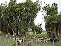 Cordyline australis Rangitaiki plains.jpg