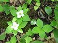 Cornus canadensis 3-eheep (5097229203).jpg