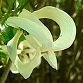 Cornus florida ssp urbiniana 3.jpg