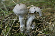 Cortinarius salor - Lindsey.jpg