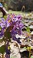 Corydalis solida 83741704.jpg