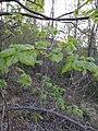Corylus avelana (Corylaceae).jpg