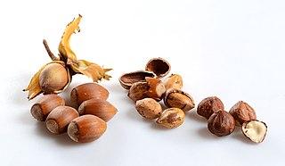 nut of the hazel tree