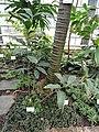 Costus curribi - Botanischer Garten Freiburg - DSC06304.jpg