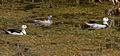Cotton Pgymy Geese (Nettapus coromandelianus) W IMG 6773.jpg