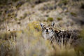 Coyote, Antelope Island, October 2012.jpg