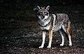 Coyote008 (26901960656).jpg