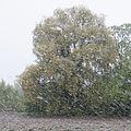 Crack willow Lodz(Poland)(js).03.jpg
