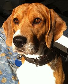 Beagle di due anni.