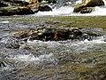 Creek Black Mountain Campground Pisgah Nat Forest NC 4417 (37917098832).jpg